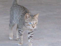 animal, tabby cat, small to medium-sized cats, chausie, fauna, cat, wild cat, carnivoran, whiskers, bobcat, domestic short-haired cat,