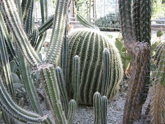 plant, acanthocereus tetragonus, echinopsis pachanoi, cactus family,