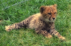 animal, big cats, cheetah, small to medium-sized cats, mammal, fauna, grassland, wildlife,