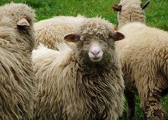 sheep E