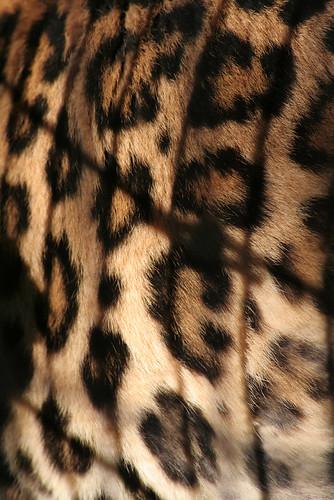 animal fur zoo wildlife leopard leopardprint canoneos350d canoneosdigitalrebelxt senecaparkzoo