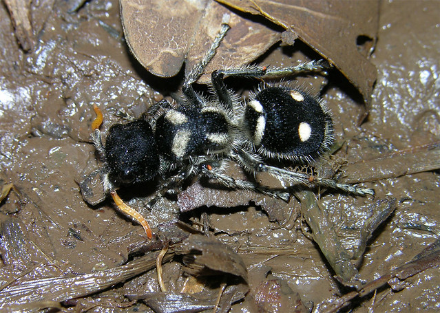 Velvet ant (Hoplomutil... Yellow Velvet Ant