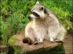 animal, raccoon, mammal, fauna, procyon, wildlife,