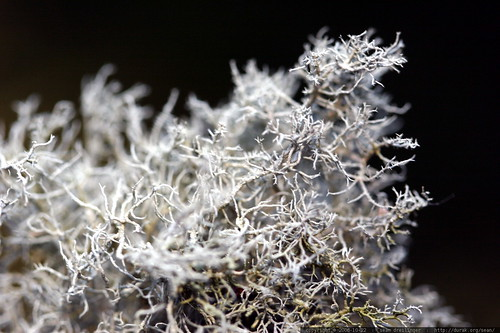 grey lichen   macro    MG 2897