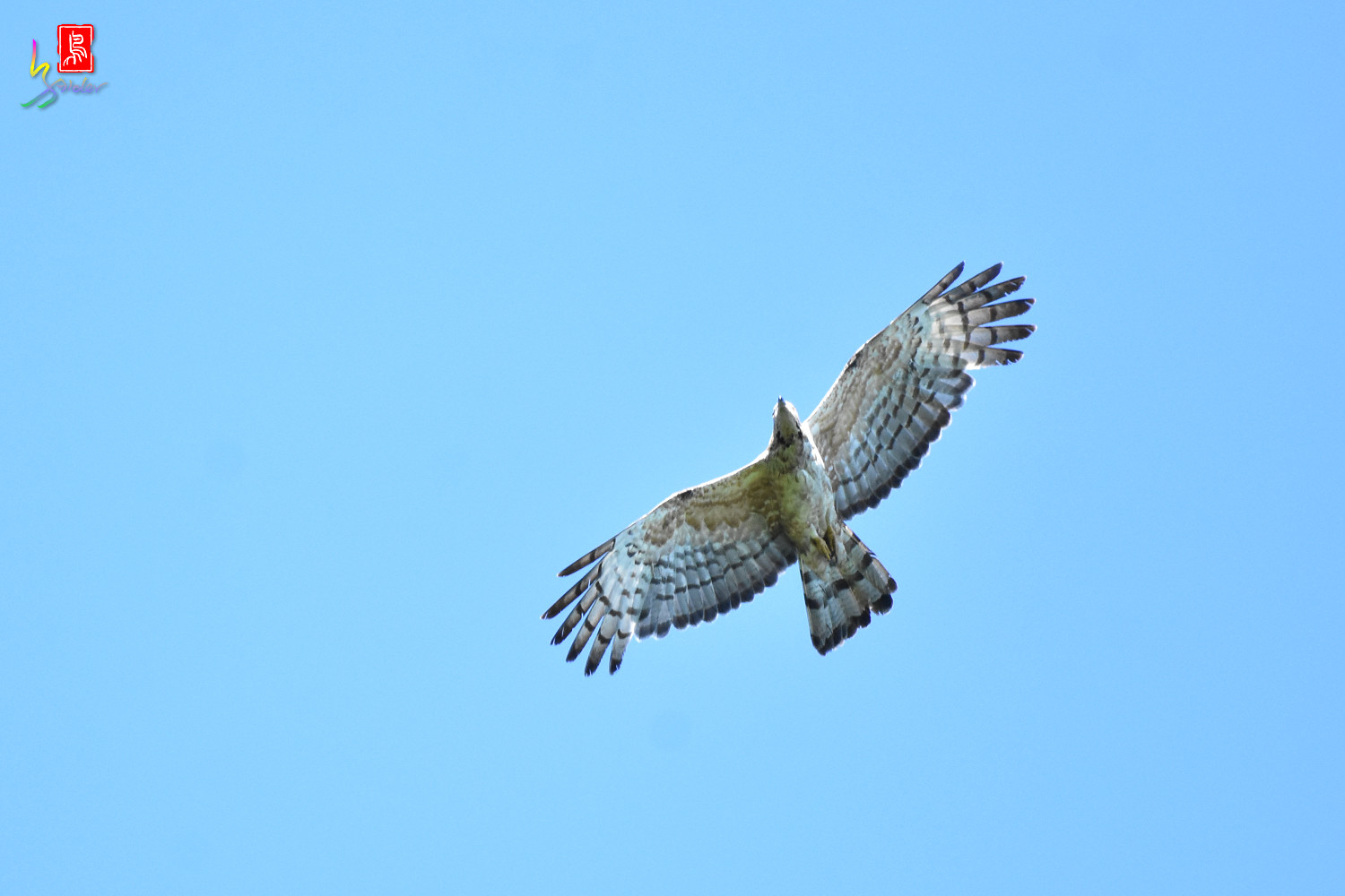 Honey_Buzzard_0191