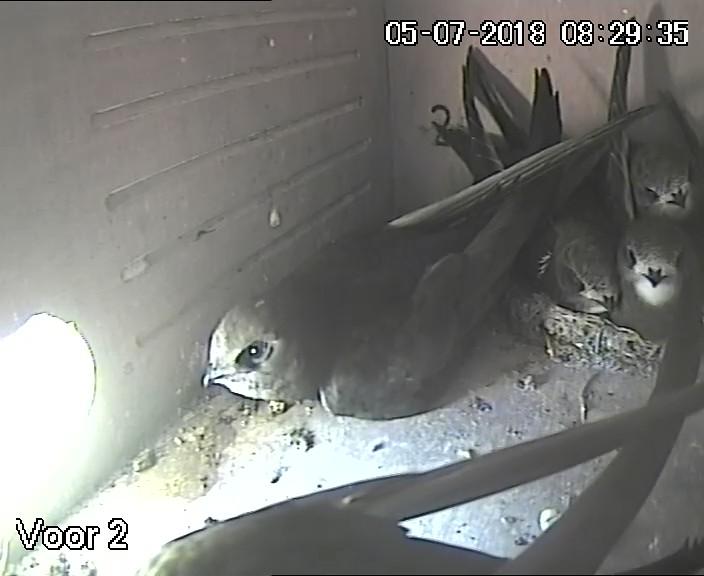Gierzwaluwen in nestkast 2