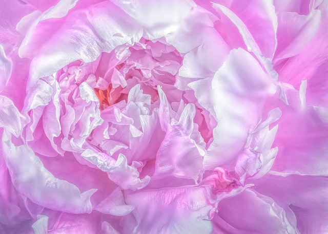Peony by Ron Williams