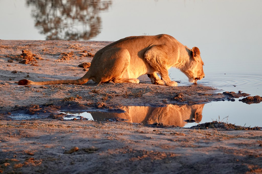 Lioness drinks from a watering hole, Hwange, Zimbabwe