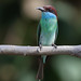 Blue-throated Bee-eater (Merops viridis) 蓝喉蜂虎