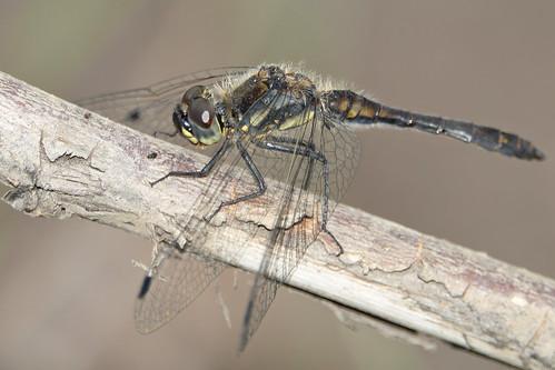 Zwarte heidelibel-Black Darter (Sympetrum danae)
