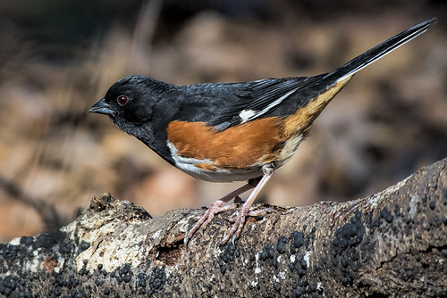 Forest Park: Eastern Towhee