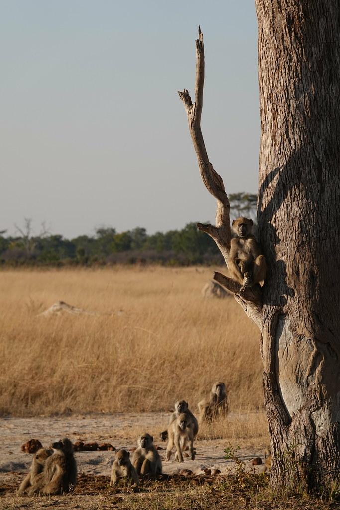 Baboons in Zimbabwe
