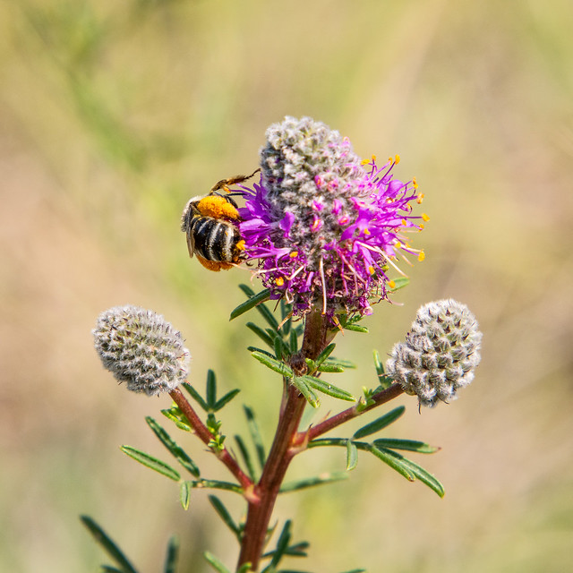 bee on purple prairie clover