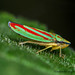 Red banded leaf hopper 2 by singhsatvinder69
