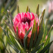Raspberry Protea by Marcia H