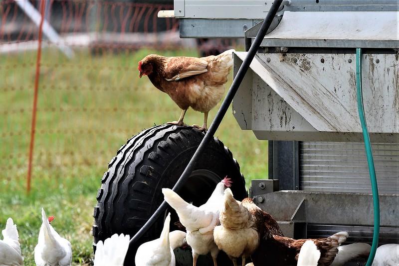 Chickens 10.07 (4)