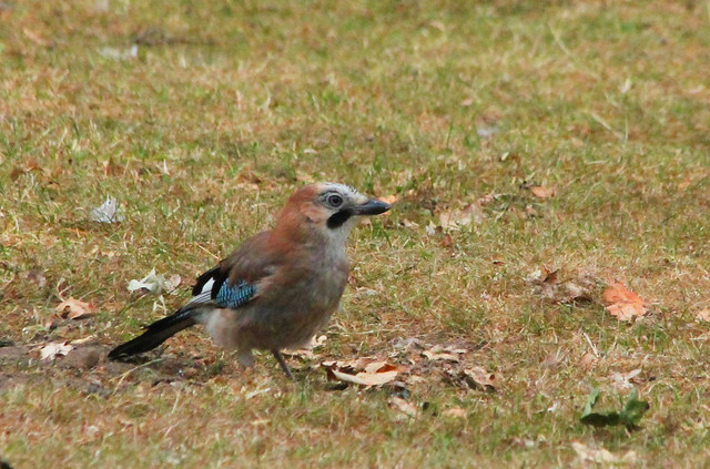 411. Jay, Canon EOS 1100D, Canon EF 70-300mm f/4-5.6 IS USM