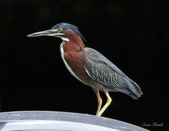 Green Heron