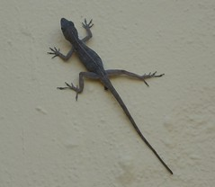 Puerto Rican Anole Lizard
