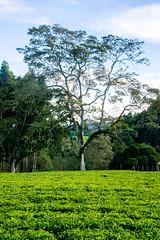 Tea field near Niarobi, Kenya