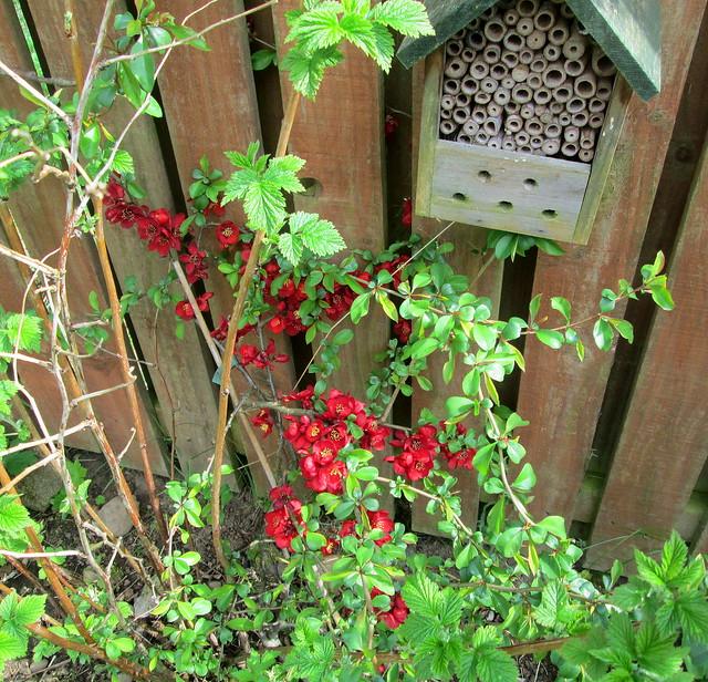ornamental quince