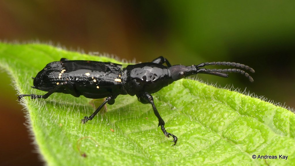 Straight-snouted Weevil, Estenorhinus sp., Brentidae
