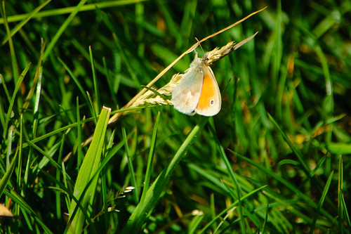 Small heath butterfly at rest, Baggeridge Country Park