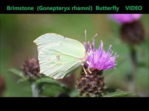 Brimstone (Gonepteryx rhamni) Butterfly 01-07-2018