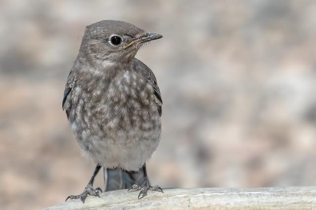 Chick-Mountain-Bluebird-91-A7D2--070318