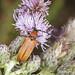 Red Longhorn Beetle - Stictoleptura rubra (f)