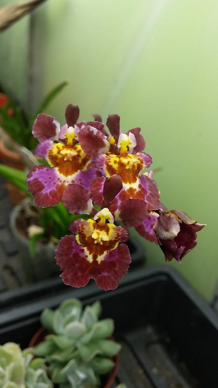 Les orchidées chez Sougriwa - Page 8 29604925288_04113e751d_c