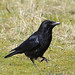 IMGP0295c Carrion Crow, RSPB Sandy, March 2018
