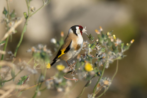 Goldfinch Dundalk