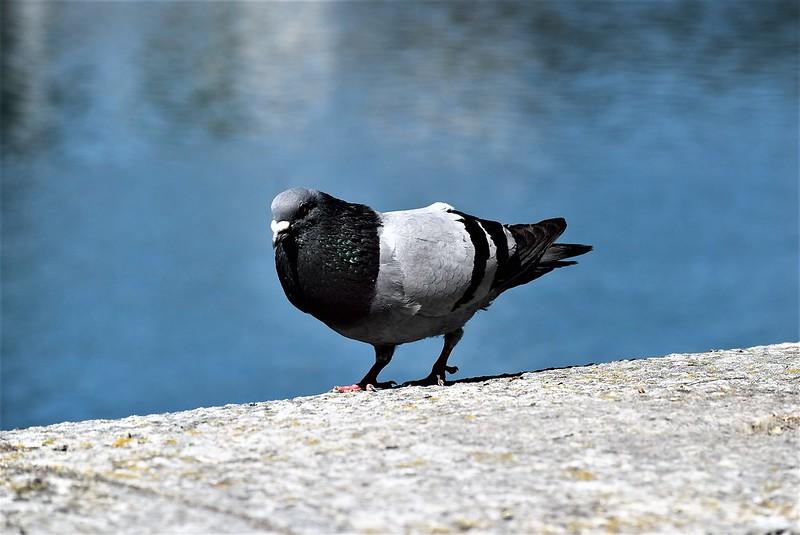 Pigeons 16.07 (1)