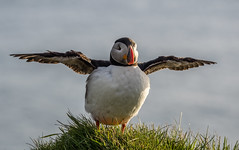 Fly, Puffin, fly
