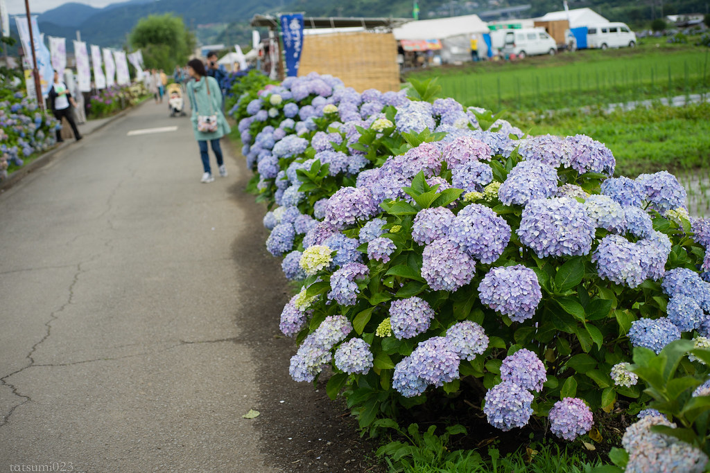 2018-06-16 開成町の紫陽花 001-3
