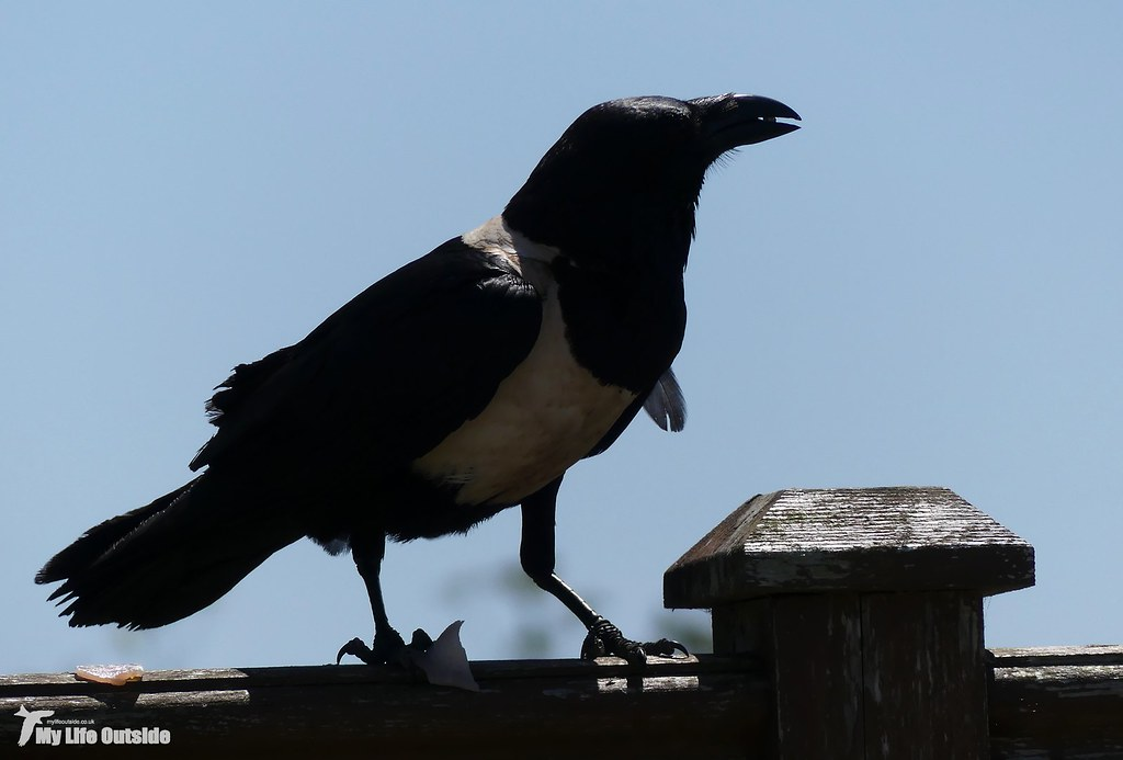 P1160101 - Pied Crow, Pembrokeshire
