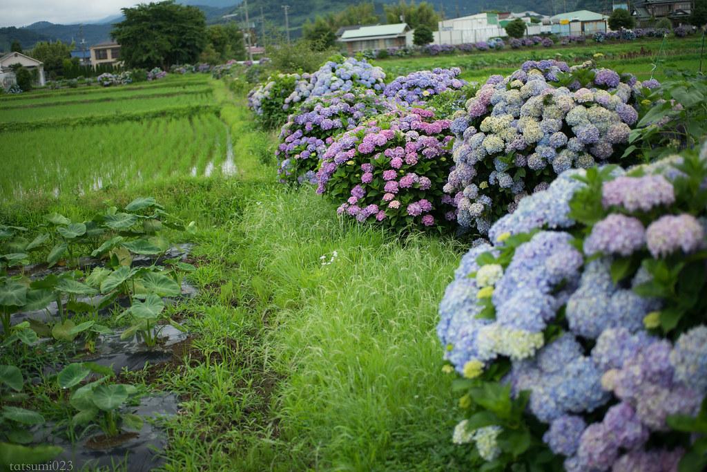 2018-06-16 開成町の紫陽花 001-5