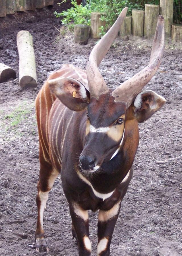 An eastern bongo's horns. Photo taken at Burger Zoo Arnheim, on August 8, 2005.