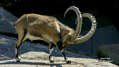 animal,ibex,horns,Kate_Bush-King_of_the_Mountain-(CC)-Nino_Barbieri