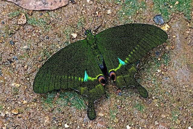 Papilio paris - the Paris Peacock