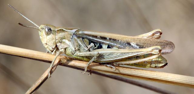 Grasshopper., Canon EOS 7D MARK II, Canon EF 100mm f/2.8 Macro USM