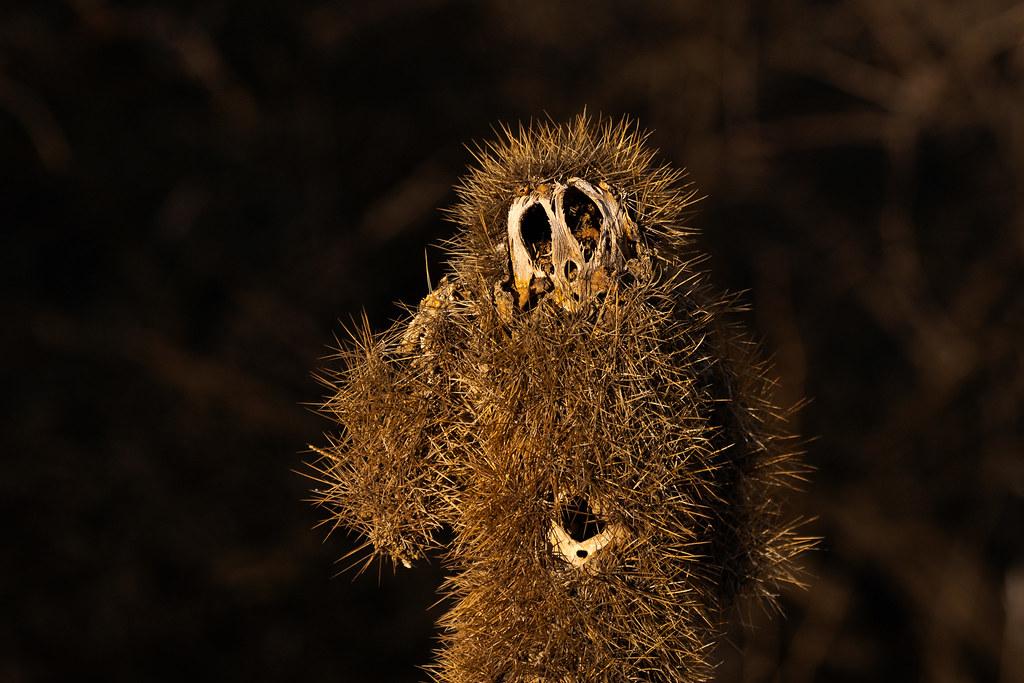Dead teddy bear cholla resembles a strange creature