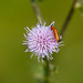 Cardinal beetle on thistle flower, disapppearing