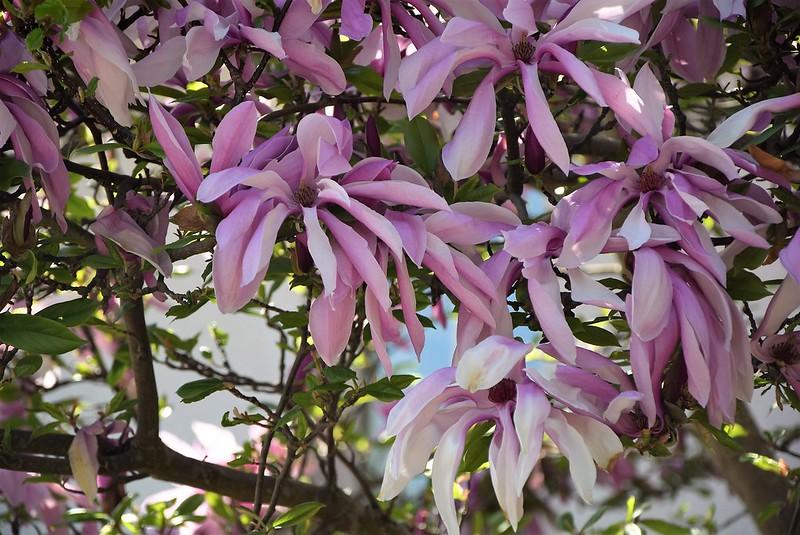 Flowering tree 21.04 (2)