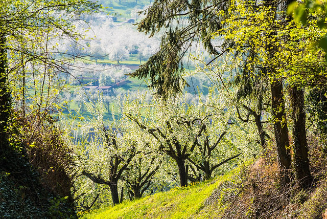 Kirschblüte_Eggenertal_2_043