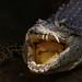 Cuban Crocodile at Colchester Zoo