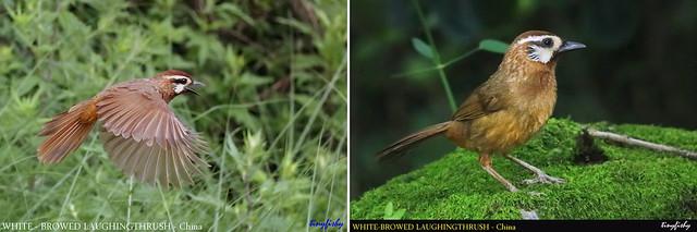 (Species #1264) White-browned Laughingthrush - [ Emeishan Hot Spring Resort, Chengdu, China ]