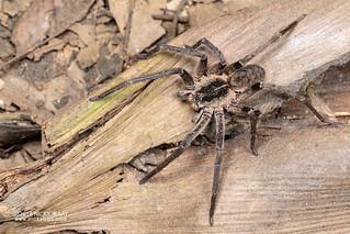 Wandering spider (Ctenidae) - DSC_5512