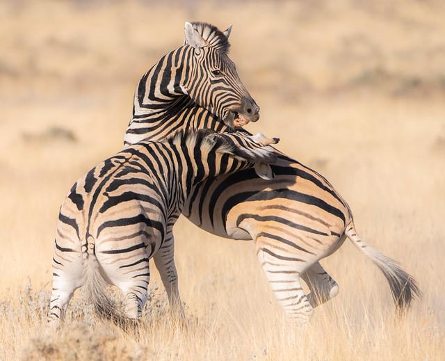 Fighting Zebras, Nikon D850, AF-S VR Nikkor 600mm f/4G ED